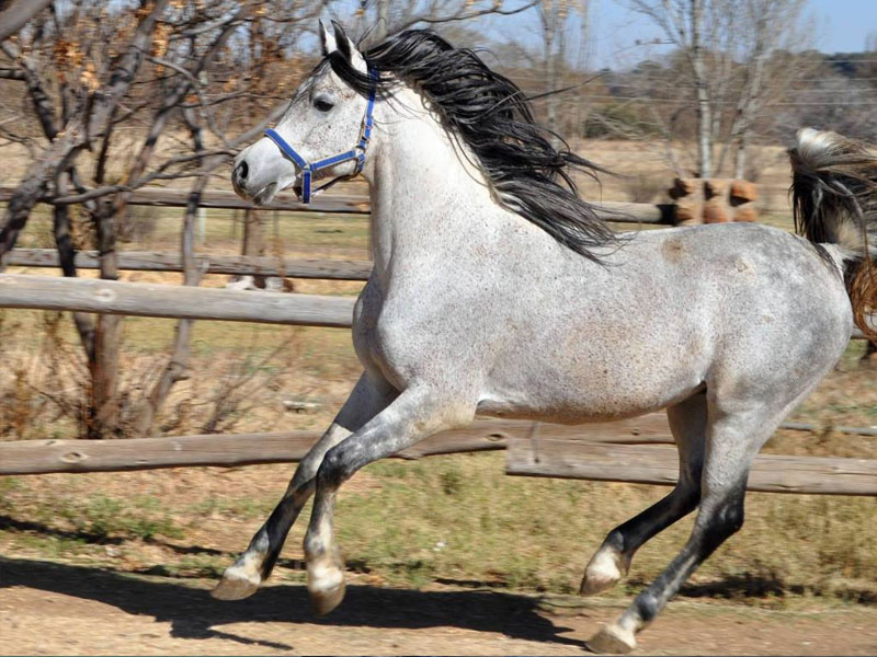 Sidi Exclusive - Sidi Exclusive is standing at stud Bin Yssuf Arabians, Bloemfontein.